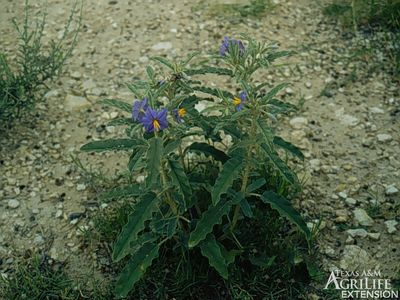 Nightshade Plants - Types and Uses